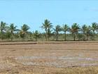 Baixa vazão do Rio São Francisco prejudica produtores de arroz de SE
