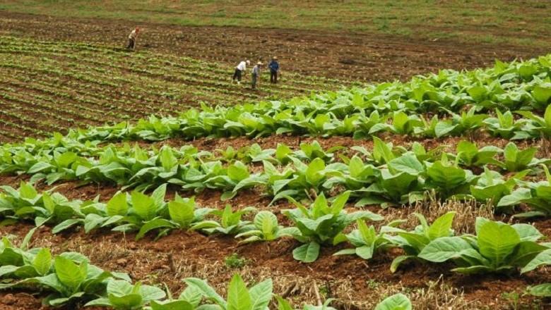 agricultura-tabaco-lavoura (Foto: Divulgação/Casa Civil)