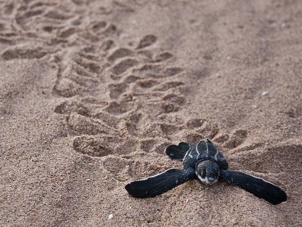 Tartaruga (Foto: Jolene Bertoldi/ZA Photos)