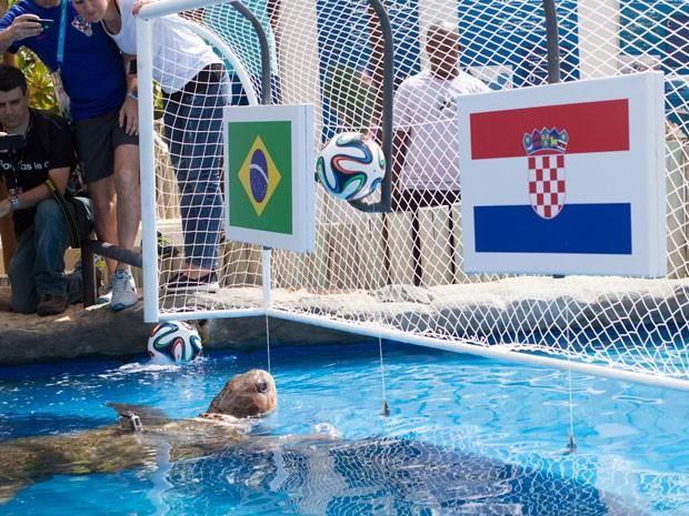 Tartaruga Cabeção, palpiteira da Copa (Foto: Divulgação/Tamar)