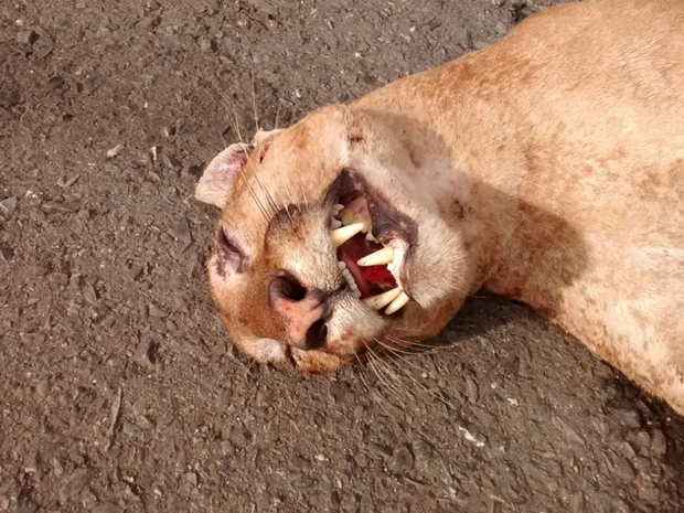 Segundo a Sema, corpo do animal não foi encontrado (Foto: Carlos Renato/Arquivo Pessoal)