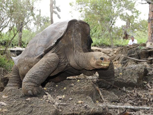 George (Foto: Direção do Parque Nacional Galápagos/BBC)