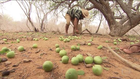 Umbuzeiro, árvore nativa do Nordeste, socorre agricultores na seca