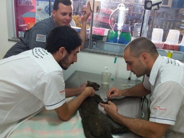 Gato do mato está recebendo os cuidados necessários (Foto: Joãozinho/Rádio Tupã)