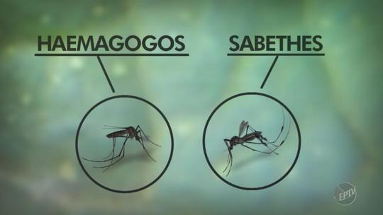 Estado confirma 1º caso autóctone de febre amarela na região de Campinas; duas mortes são investigadas