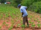Apesar de redução da chuva, lavouras de milho e feijão crescem no CE