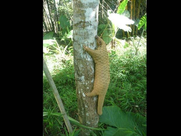 Sunda pangolin (Foto: ZSL/BBC)