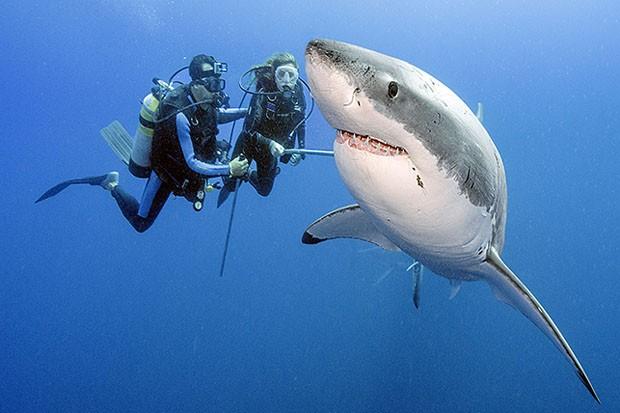 Mergulho sem proteção ao lado de um tubarão branco no Caribe (Foto: Daniel Botelho)
