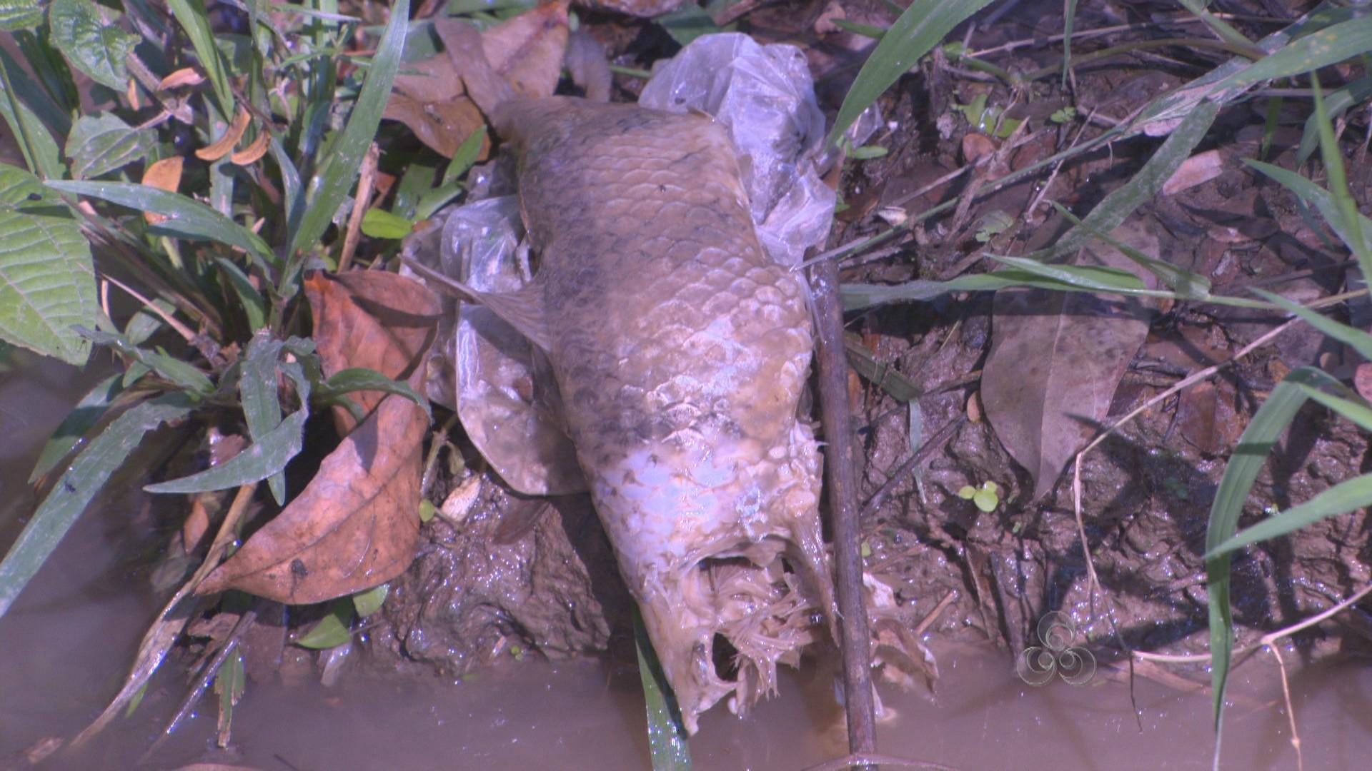 Alguns peixes estão inchados e outros foram atacados por candirus (Foto: Bom Dia Amazônia)