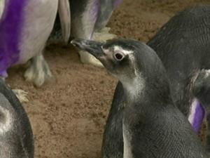Pinguins recuperados são devolvidos ao mar (Foto: Reprodução/ TV Gazeta)