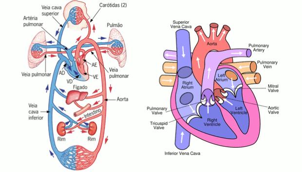 Representação da carótida e do coração (Foto: Colégio Qi/Reprodução)