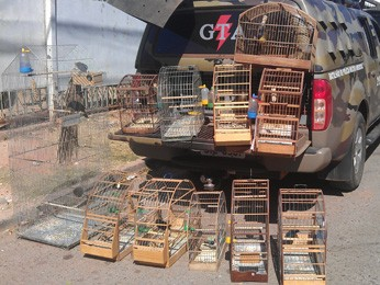 Pássaros apreendidos no Paranoá nesta sexta-feira (31) (Foto: Mário Alberto/ Polícia Ambiental)