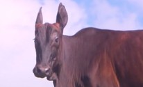 Animal híbrido chama  atenção em fazenda (Reprodução / TV Bahia)