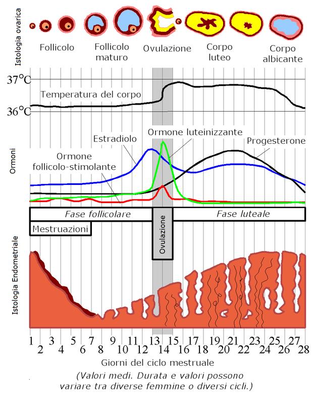 Ciclo menstrual (Foto: Reprodução/Colégio Qi)