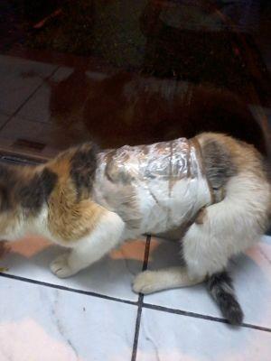 Gato foi encontrado com aparelhos celulares grudados ao corpo  (Foto: Divulgação/ SAP)