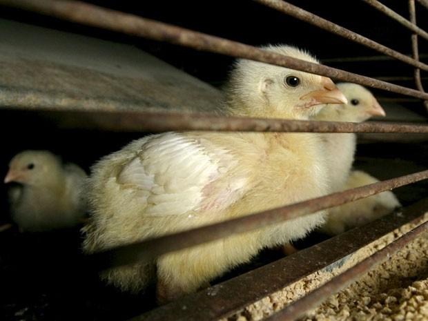 Gripe aviária matou mais de 48 milhões de frangos e perus desde dezembro. A maioria das perdas afetaram galinhas poedeiras em Iowa, o principal produtor de ovos nos Estados Unidos.  (Foto: Reuters)