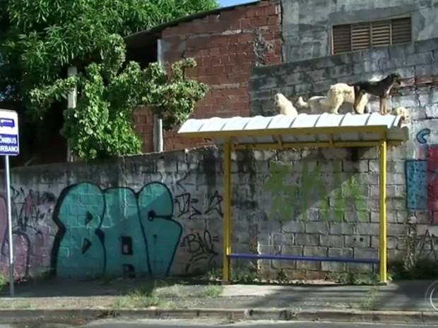 Animais ficam em cima de ponto de ônibus perto de casa (Foto: Reprodução/ TV TEM)