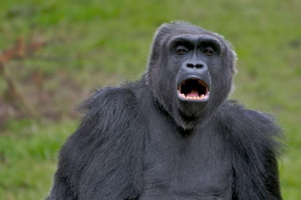 Gorila (Foto: Gettyimages)