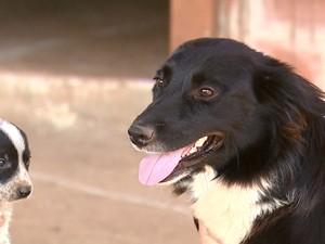 Seis filhotes da raça border collie foram furtados em São Carlos (Foto: Reprodução/EPTV)
