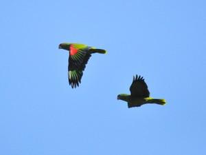 Charão é identificado pela plumagem vermelha e verde (Foto: Vanessa Kanaan/Divulgação)