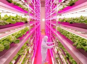ShigeharuShimamura e o cultivo no Japão (Foto: GE)