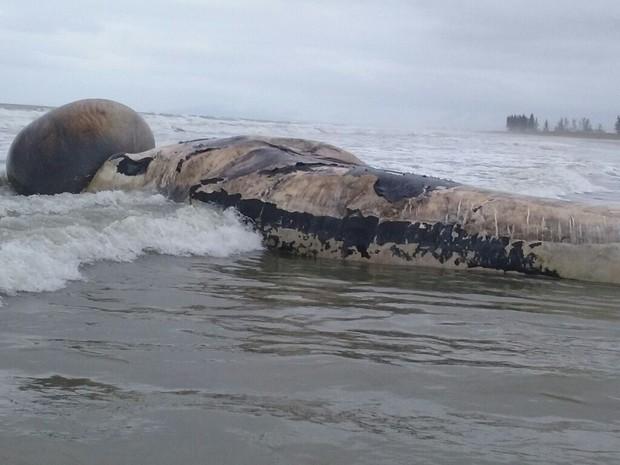 Baleia morta em Ilha Comprida com bolsa de ar de pulmão em evidência (Foto: Cristian Negrão/Arquivo Pessoal)