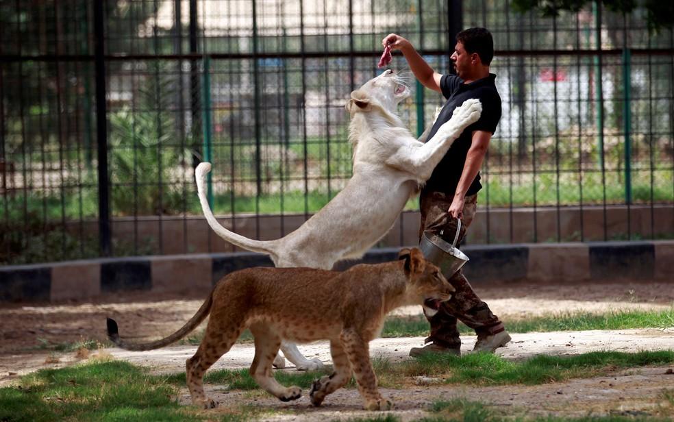 Tratador é visto alimentando filhote de leão branco no zoo Al Zawra, em Bagdá, no Iraque, em foto de 15 de junho (Foto: Reuters/Khalid al-Mousily)