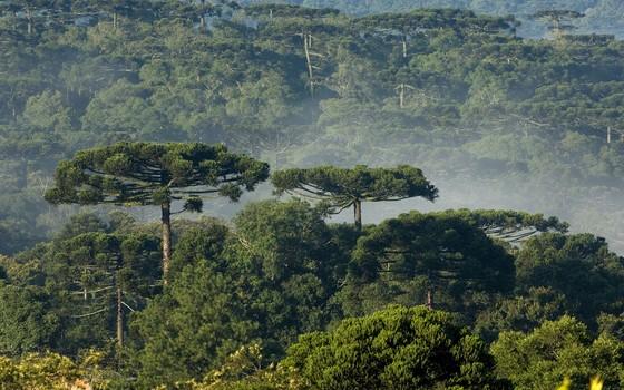 Floresta com araucária em Turvo no Paraná (Foto: Zig Koch/Divulgação RPVS)