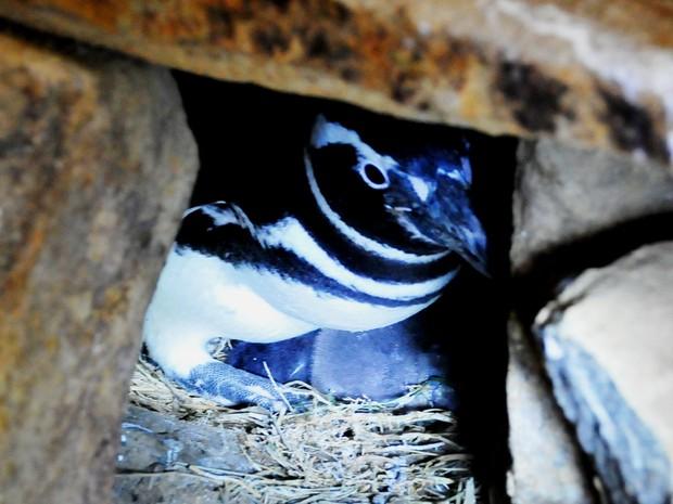 Macho e fêmea da espécie pinguim-de-magalhães se revezaram para chocar os ovos por mais de um mês  (Foto: Halder Ramos/Divulgação)