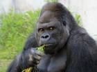 Gorila em zoo vira símbolo sexual no Japão