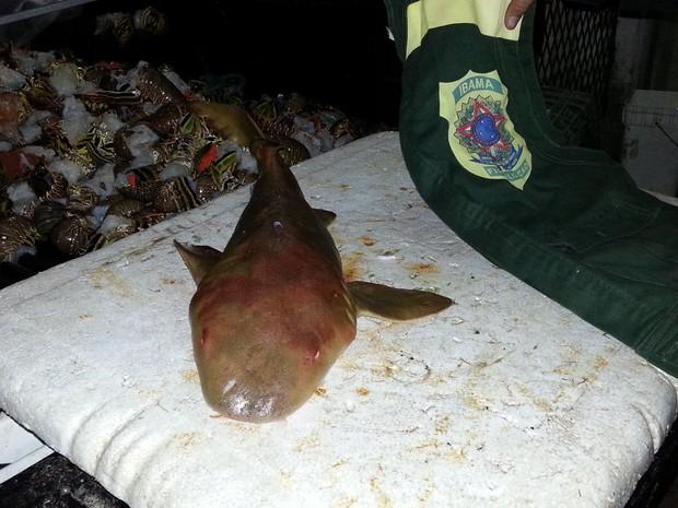 Tubarão-lixa foi apreendido pelo Ibama no litoral do RN (Foto: Pedro Luiz Ribeiro dos Santos/Ibama/RN)