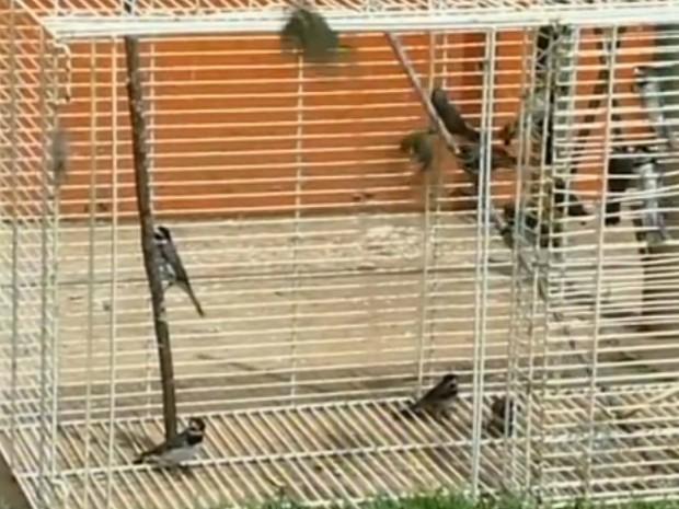 Após um mês de reabilitação, aves foram devolvidas à natureza. (Foto: Reprodução TV Tem)