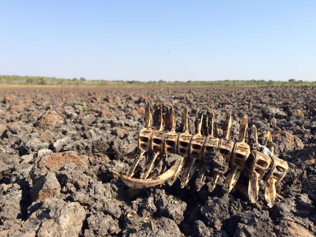 Lago secou e carcaças de alguns animais ficaram na lama seca (Foto: Cassiano Rolim/TV Anhanguera)