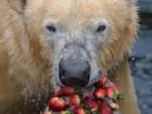 Urso polar come bolo gelado de morango em zoo da Alemanha