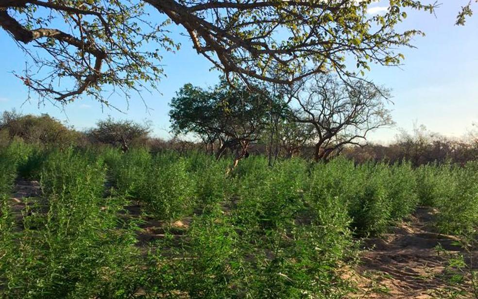 Plantação com cerca de 10 mil pés de mnaconha foi encontrada em Juazeiro (Foto: Divulgação/SSP)