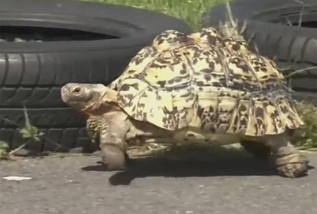Tartaruga Bertie bateu recorde com elocidade máxima de 1 km por hora. (Foto: Reprodução/YouTube/Animal Stories)