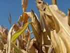 Milho segunda safra produz abaixo do esperado na região Centro-Oeste