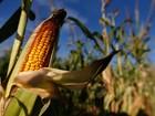 Bangladesh importa milho brasileiro após seca afetar safra na Índia