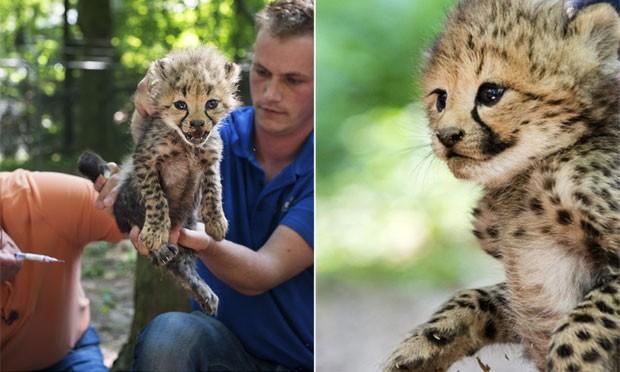 Um dos filhotes que nasceu em maio é observado por tratadores de zoológico na Holanda (Foto: Piroschka Van de Wouw/AFP)