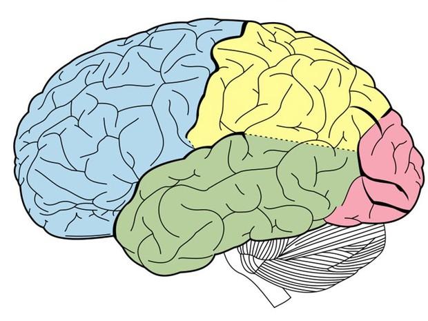 Cérebro (Foto: Reprodução)