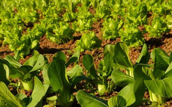 Plantação de hortaliças. Os consumidores estão cada vez mais interessados em produtos bons para a saúde e para o meio ambiente (Foto: Manoel Marques - Editora Globo)