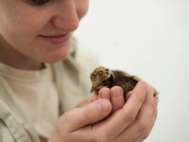 Primeiro filhote de macuco reproduzido em cativeiro no Parque das Aves, em Foz do Iguaçu (PR), nasceu na tarde de sábado (6) (Foto: Parque das Aves / Divulgação)