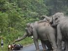 Veja 'susto em motoboy' e mais momentos de fúria de elefantes