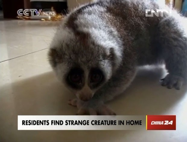 Segundo especialista Peng Hao, animal � um l�ris lento. (Foto: Reprodu��o)