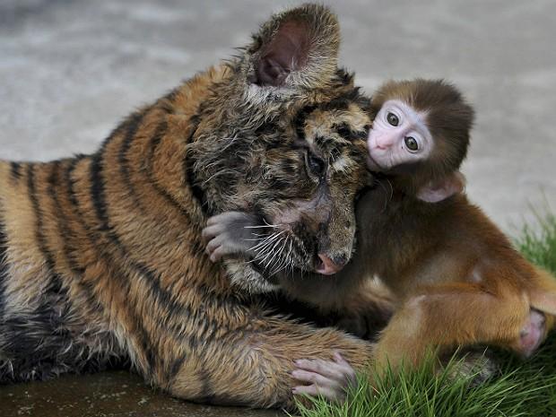 Extremamente Mundo animal: Filhote de macaco brinca com bebé tigre em zoológico  HD58