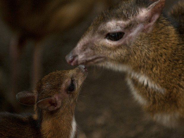 Filhote de veado-rato interage com sua mãe em parque da Espanha (Fot AFP Photo/Jorge Guerrero)