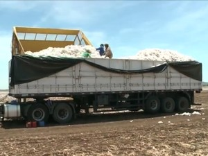 Plantio de algodão pode ser bom investimento para 2017, diz Emater (Foto: Reprodução/TV Paraíba)