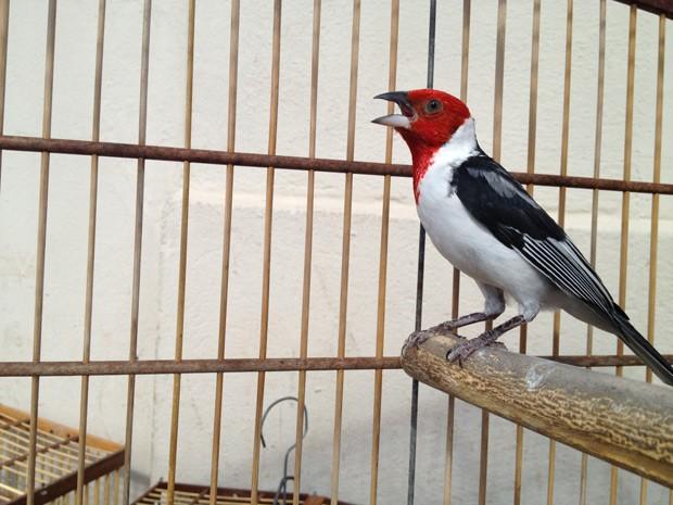 Galo-de-campina estava entre as aves silvestres apreendidas (Foto: Walter Paparazzo/G1)