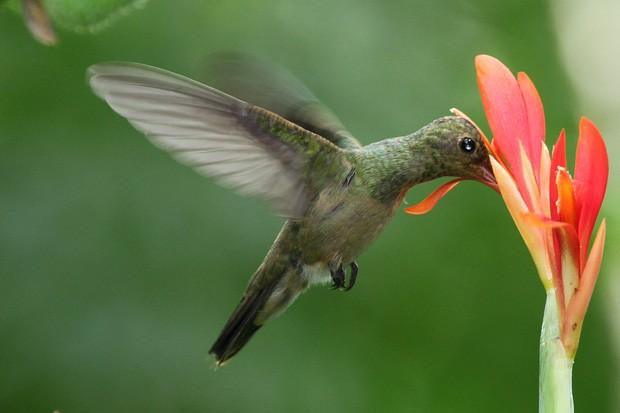 Uma das belas fotos enviadas pelo fotógrafo de aves José Lell retrata o colibri esmeralda (Chlorostilbon aureoventris) (Foto: José Lell)
