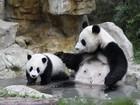 Filhote de panda brinca com a mãe em centro de reprodução na China